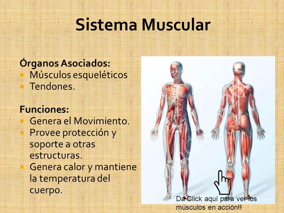 Órganos Asociados: Músculos esqueléticos Tendones. Funciones: Genera el Movimiento. Provee protección y soporte a otras estructuras. Genera calor y ma