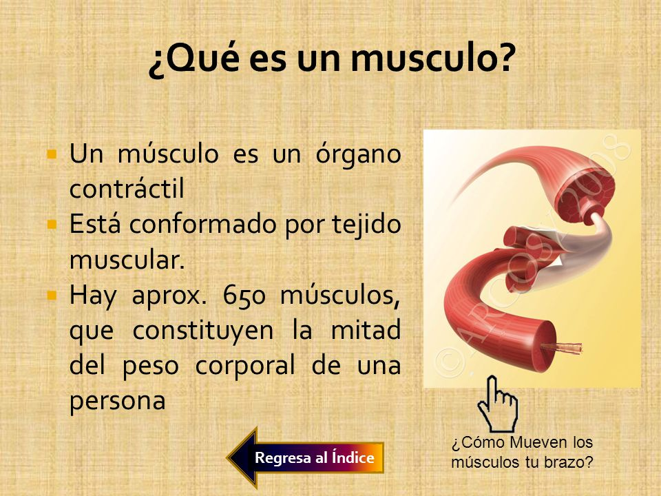 Un músculo es un órgano contráctil Está conformado por tejido muscular. Hay aprox. 650 músculos, que constituyen la mitad del peso corporal de una per