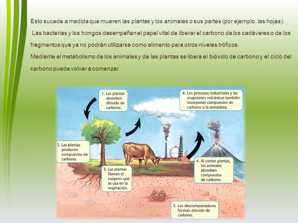 Esto sucede a medida que mueren las plantas y los animales o sus partes (por ejemplo, las hojas). Las bacterias y los hongos desempeñan el papel vital