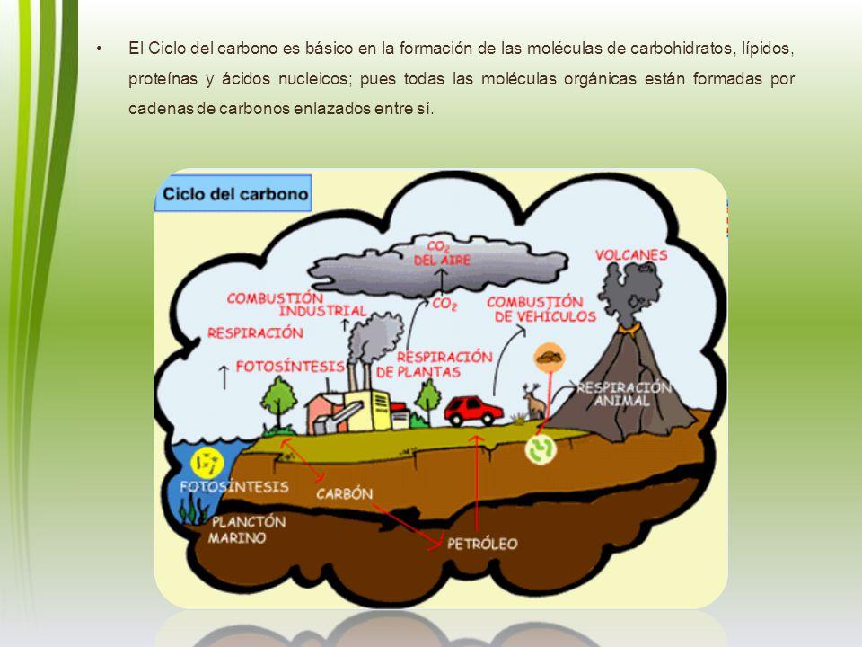 El Ciclo del carbono es básico en la formación de las moléculas de carbohidratos, lípidos, proteínas y ácidos nucleicos; pues todas las moléculas orgá