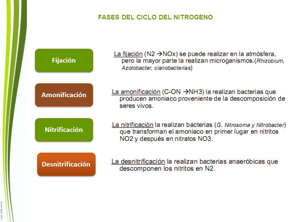 FASES DEL CICLO DEL NITROGENO Fijación Amonificación Nitrificación Desnitrificación