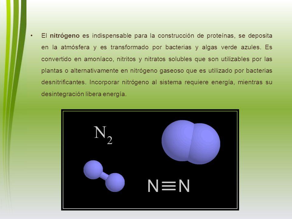 El nitrógeno es indispensable para la construcción de proteínas, se deposita en la atmósfera y es transformado por bacterias y algas verde azules. Es