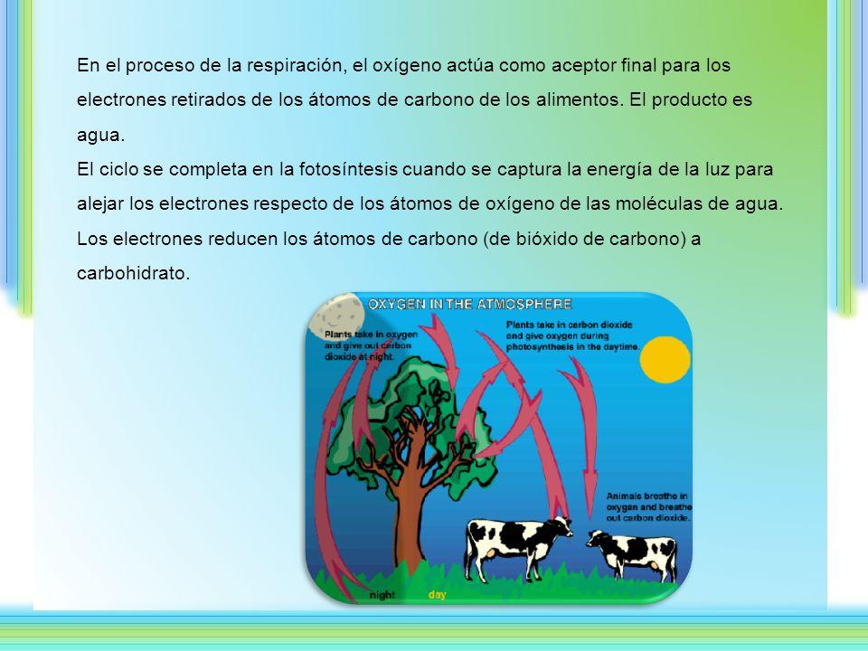En el proceso de la respiración, el oxígeno actúa como aceptor final para los electrones retirados de los átomos de carbono de los alimentos.