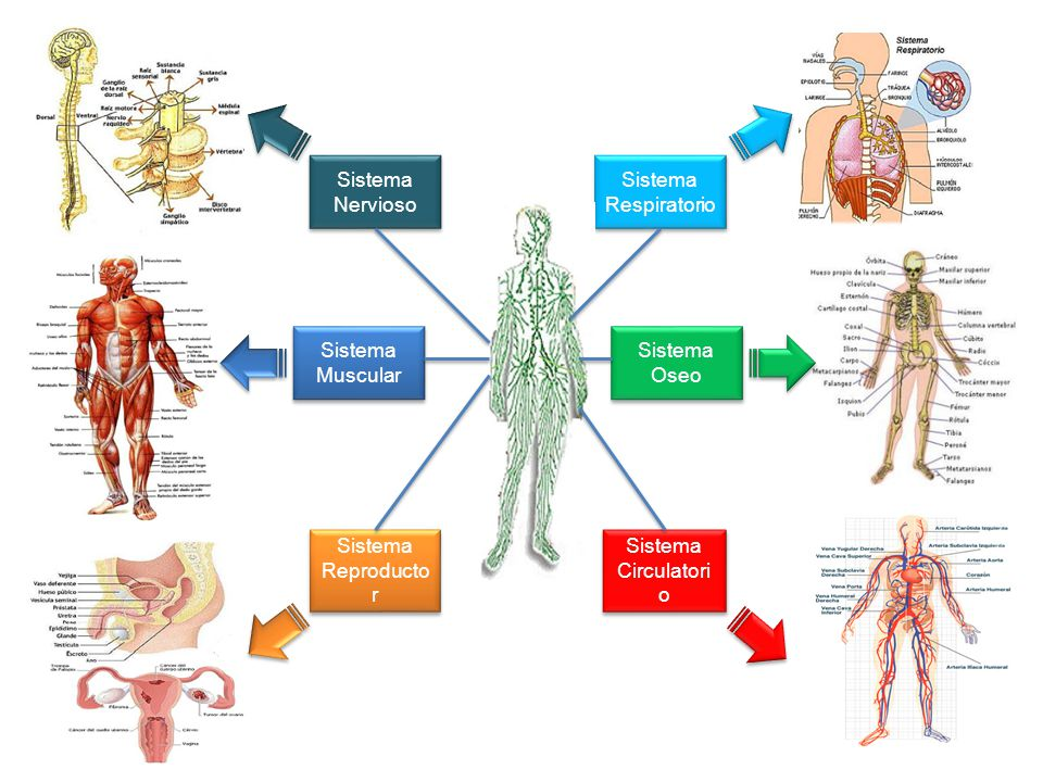Sistema Nervioso Sistema Reproducto r Sistema Respiratorio Sistema Circulatori o Sistema Muscular Sistema Oseo