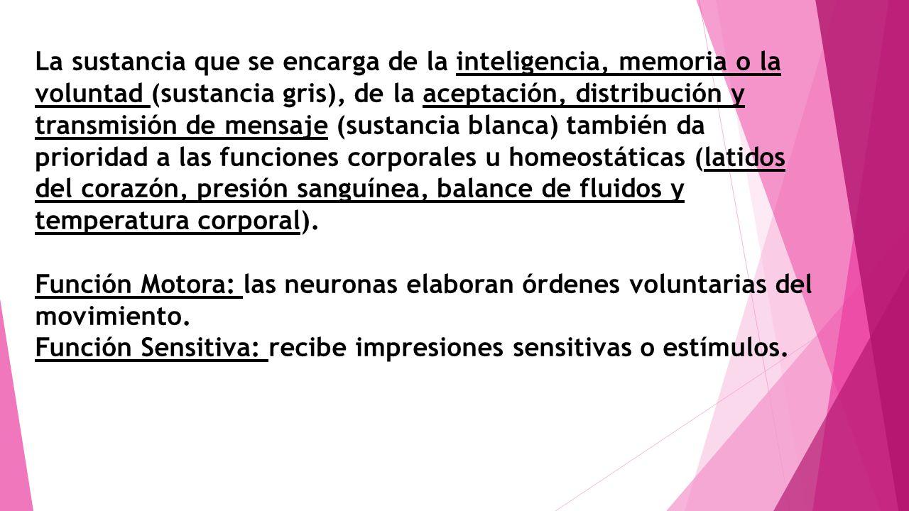 La sustancia que se encarga de la inteligencia, memoria o la voluntad (sustancia gris), de la aceptación, distribución y transmisión de mensaje (susta