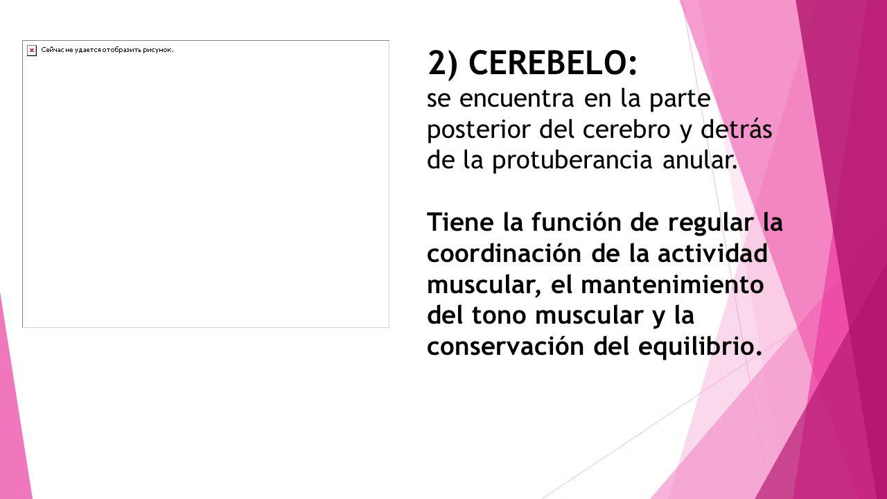 2) CEREBELO: se encuentra en la parte posterior del cerebro y detrás de la protuberancia anular. Tiene la función de regular la coordinación de la act