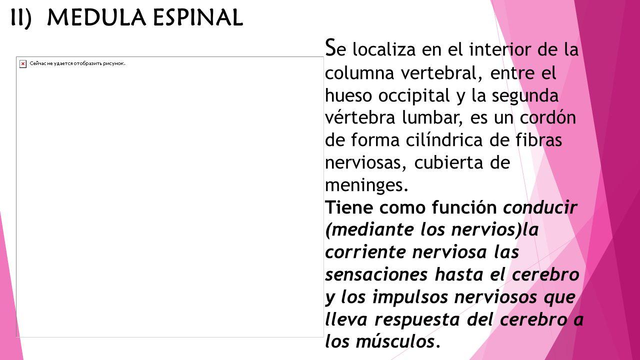 S e localiza en el interior de la columna vertebral, entre el hueso occipital y la segunda vértebra lumbar, es un cordón de forma cilíndrica de fibras