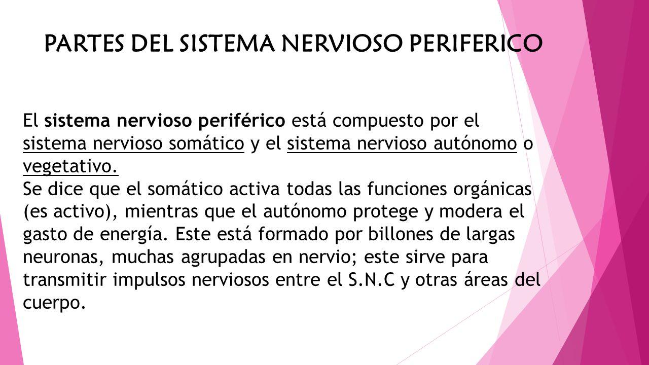 PARTES DEL SISTEMA NERVIOSO PERIFERICO El sistema nervioso periférico está compuesto por el sistema nervioso somático y el sistema nervioso autónomo o