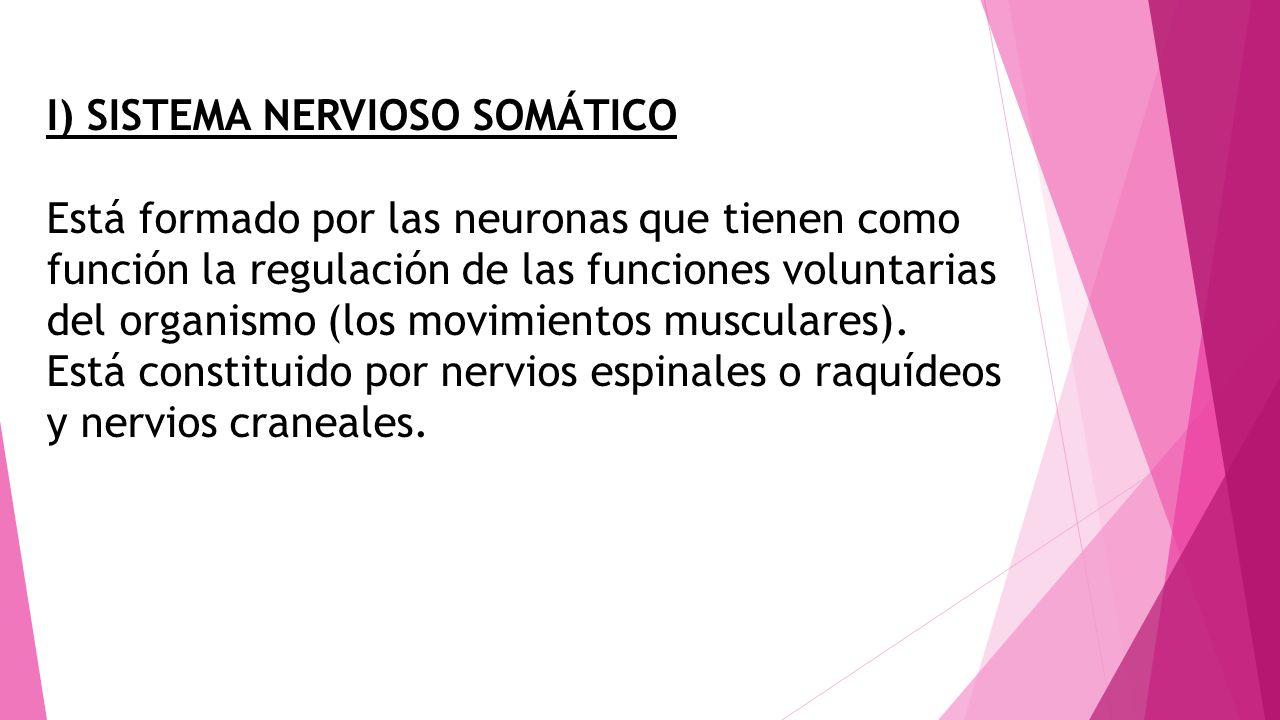 I) SISTEMA NERVIOSO SOMÁTICO Está formado por las neuronas que tienen como función la regulación de las funciones voluntarias del organismo (los movim