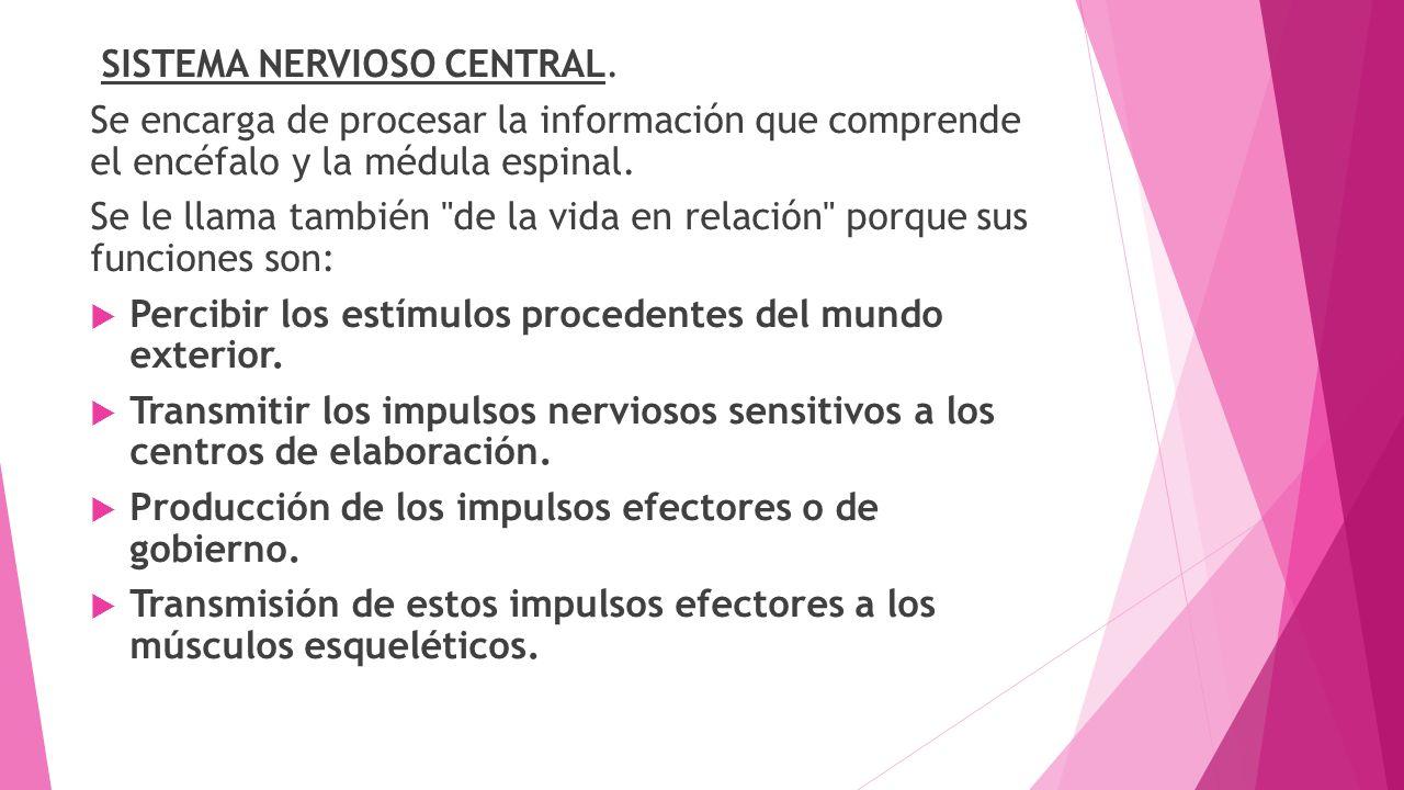 SISTEMA NERVIOSO CENTRAL. Se encarga de procesar la información que comprende el encéfalo y la médula espinal. Se le llama también