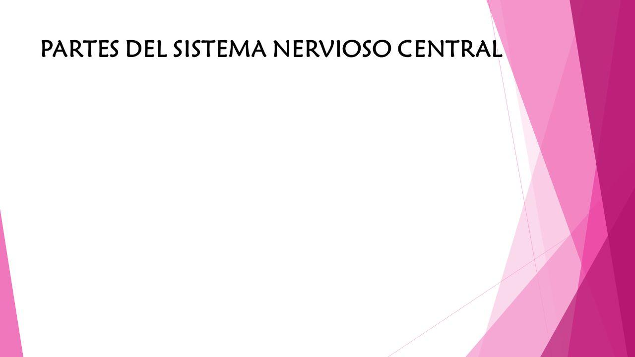 El encéfalo, parte del sistema nervioso central, situado en el interior del cráneo, comprende el cerebro, el cerebelo y el tronco encefálico.