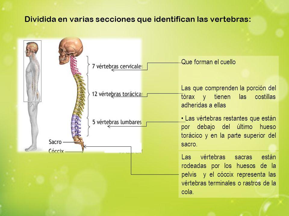 Las vértebras sacras están rodeadas por los huesos de la pelvis y el cóccix representa las vértebras terminales o rastros de la cola. Dividida en vari