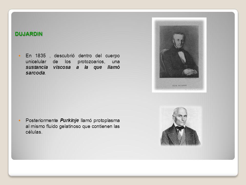 DUJARDIN En 1835, descubrió dentro del cuerpo unicelular de los protozoarios, una sustancia viscosa a la que llamó sarcoda. Posteriormente Purkinje ll
