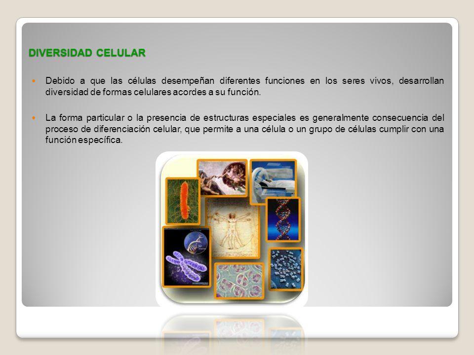 DIVERSIDAD CELULAR Debido a que las células desempeñan diferentes funciones en los seres vivos, desarrollan diversidad de formas celulares acordes a s