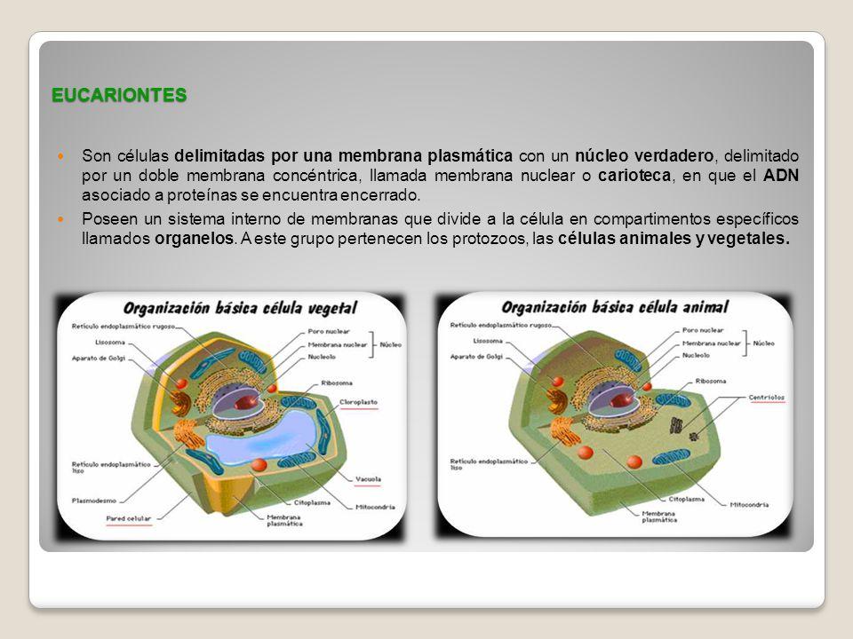 EUCARIONTES Son células delimitadas por una membrana plasmática con un núcleo verdadero, delimitado por un doble membrana concéntrica, llamada membran