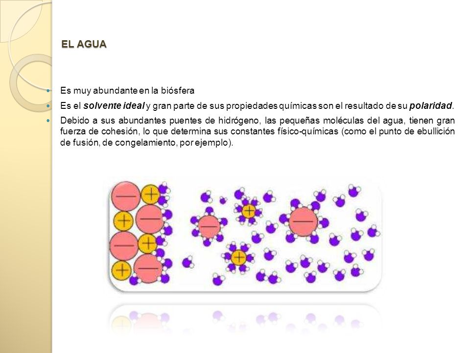 EL AGUA Es muy abundante en la biósfera Es el solvente ideal y gran parte de sus propiedades químicas son el resultado de su polaridad.