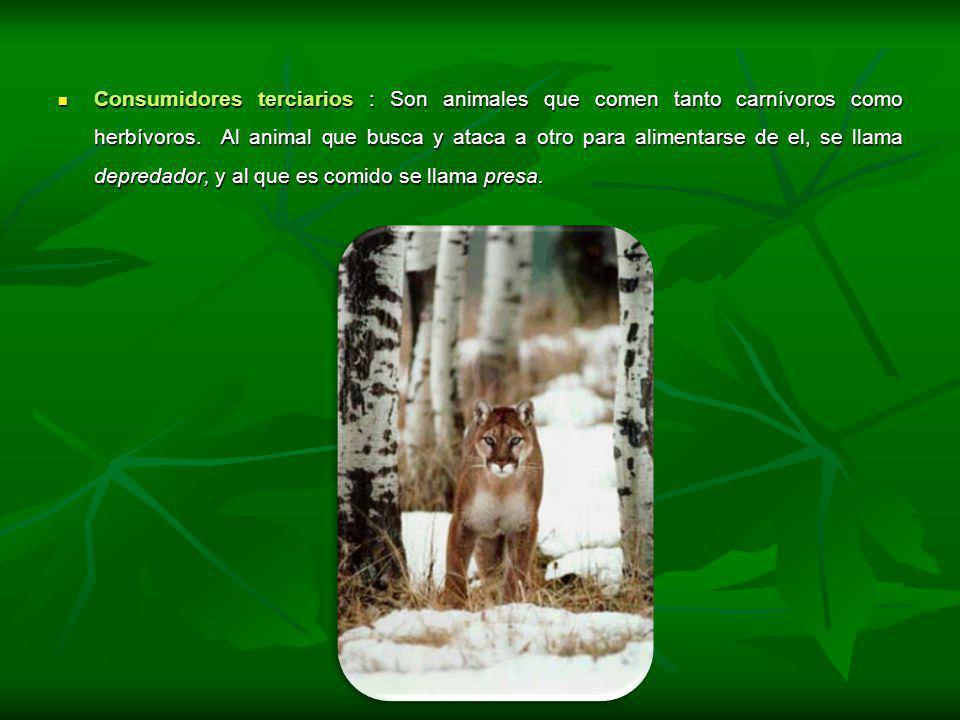 Consumidores terciarios : Son animales que comen tanto carnívoros como herbívoros. Al animal que busca y ataca a otro para alimentarse de el, se llama