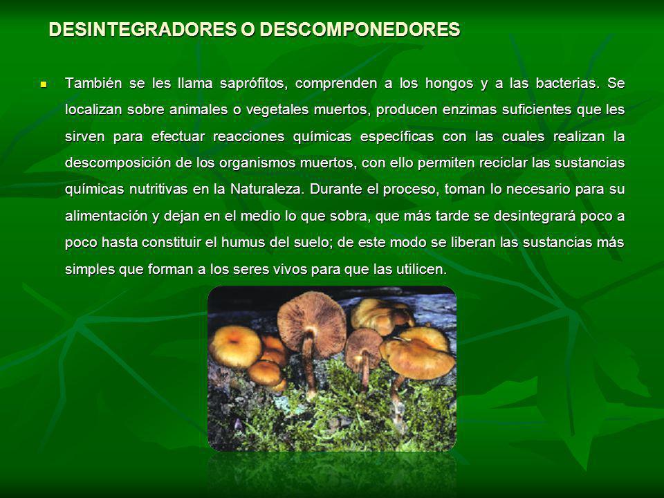 DESINTEGRADORES O DESCOMPONEDORES También se les llama saprófitos, comprenden a los hongos y a las bacterias. Se localizan sobre animales o vegetales