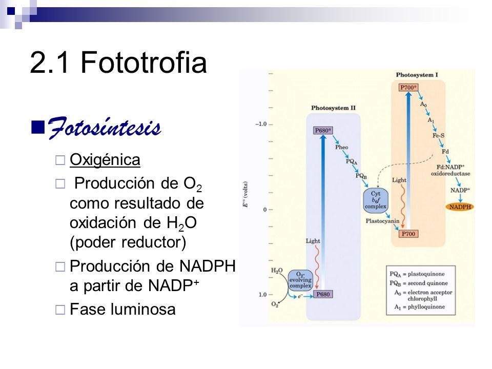 2.1 Fototrofia Fotosíntesis Oxigénica Producción de O 2 como resultado de oxidación de H 2 O (poder reductor) Producción de NADPH a partir de NADP + F