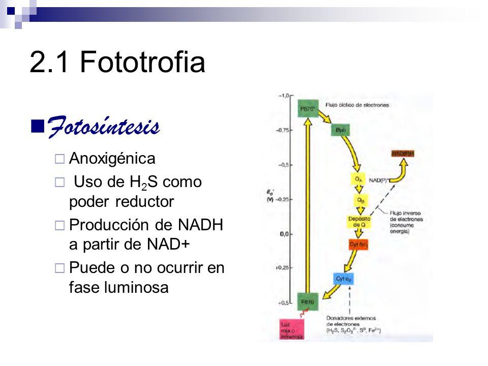 2.1 Fototrofia Fotosíntesis Anoxigénica Uso de H 2 S como poder reductor Producción de NADH a partir de NAD+ Puede o no ocurrir en fase luminosa