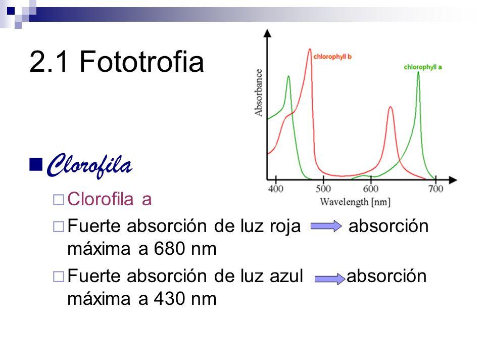 2.1 Fototrofia Clorofila Clorofila a Fuerte absorción de luz roja absorción máxima a 680 nm Fuerte absorción de luz azul absorción máxima a 430 nm