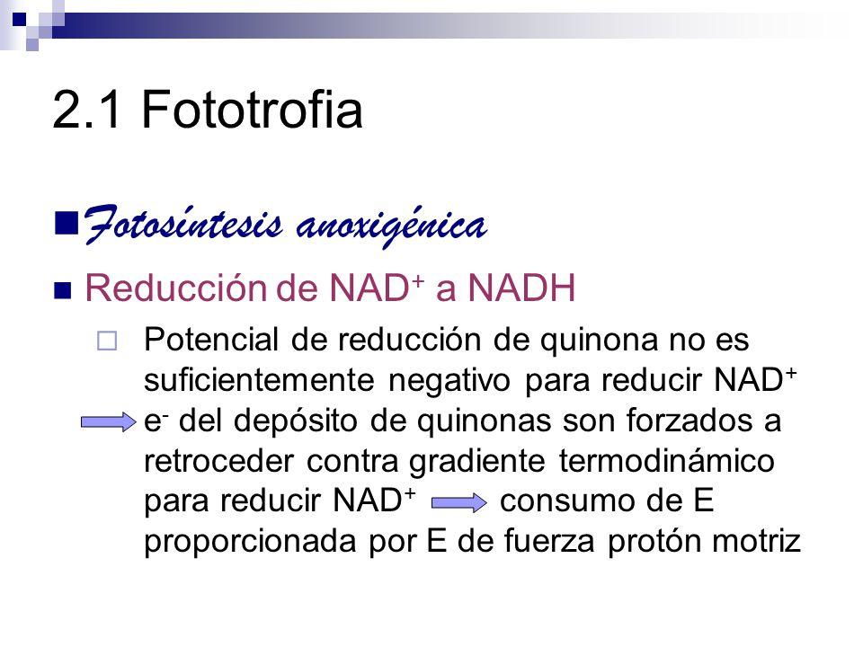 2.1 Fototrofia Fotosíntesis anoxigénica Reducción de NAD + a NADH Potencial de reducción de quinona no es suficientemente negativo para reducir NAD +