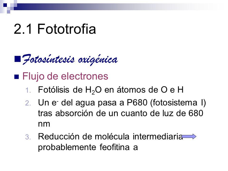 2.1 Fototrofia Fotosíntesis oxigénica Flujo de electrones 1. Fotólisis de H 2 O en átomos de O e H 2. Un e - del agua pasa a P680 (fotosistema I) tras