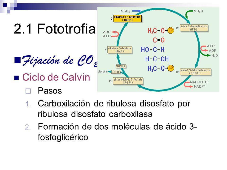 2.1 Fototrofia Fijación de CO 2 Ciclo de Calvin Pasos 1. Carboxilación de ribulosa disosfato por ribulosa disosfato carboxilasa 2. Formación de dos mo