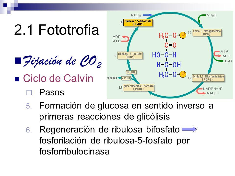 2.1 Fototrofia Fijación de CO 2 Ciclo de Calvin Pasos 5. Formación de glucosa en sentido inverso a primeras reacciones de glicólisis 6. Regeneración d
