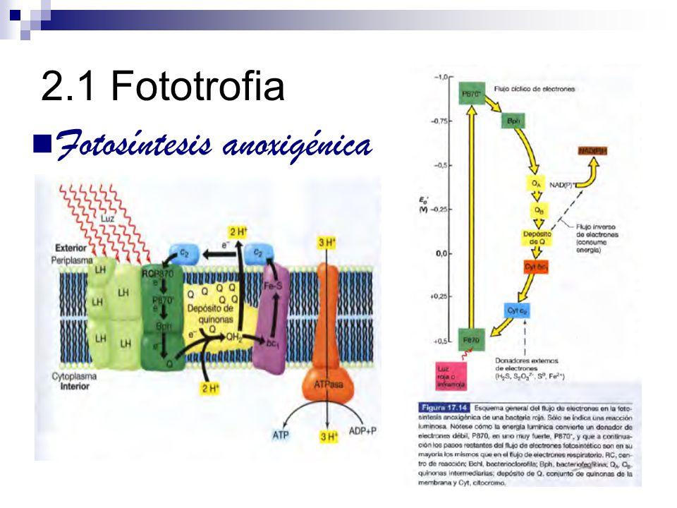2.1 Fototrofia Fotosíntesis oxigénica Síntesis de ATP Fotofosforilación no cíclica e - cuyo transporte origina síntesis de ATP no vuelven a reducir el P680 oxidado e - usados para reducción de NADP +