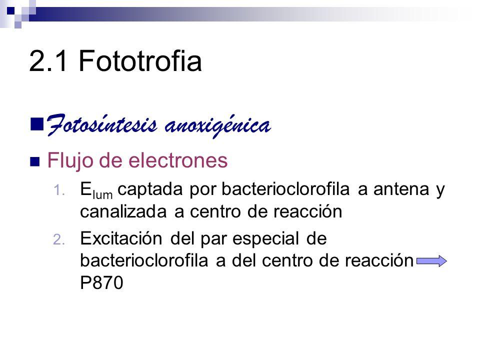 2.1 Fototrofia Fotosíntesis anoxigénica Flujo de electrones 1. E lum captada por bacterioclorofila a antena y canalizada a centro de reacción 2. Excit