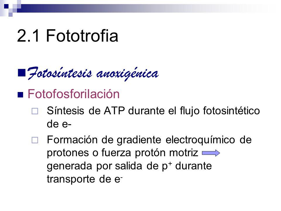 2.1 Fototrofia Fotosíntesis anoxigénica Fotofosforilación Resultado de actividad de ATPasas que acoplan desaparición del gradiente de p + a la formación de ATP Fotofosforilación cíclica