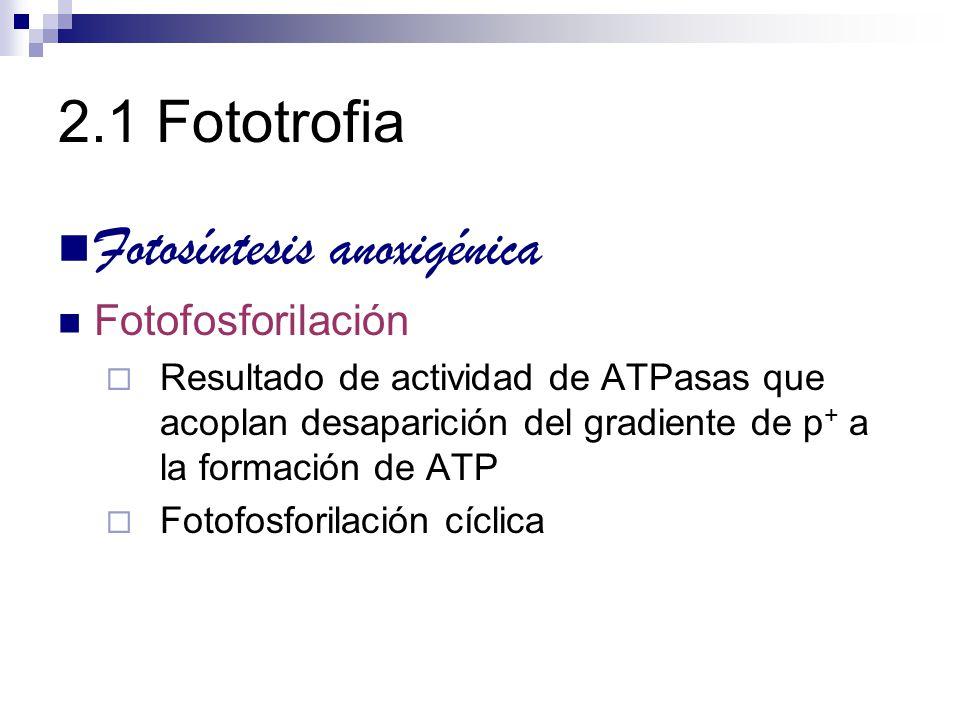 2.1 Fototrofia Fotosíntesis anoxigénica Fotofosforilación Resultado de actividad de ATPasas que acoplan desaparición del gradiente de p + a la formaci
