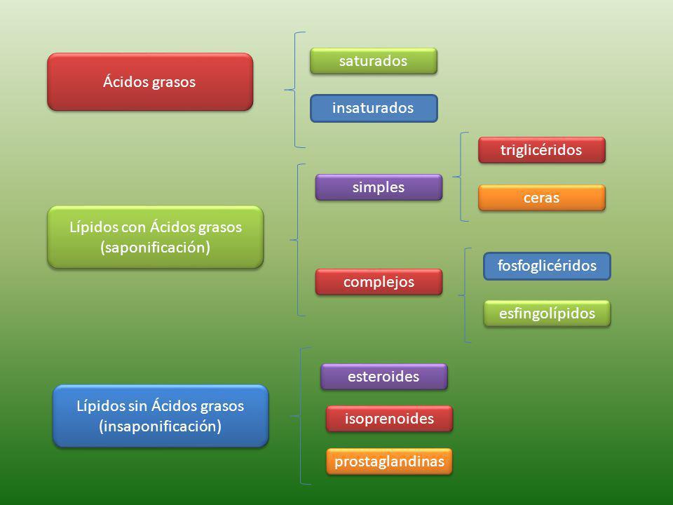 Ácidos grasos Lípidos con Ácidos grasos (saponificación) Lípidos con Ácidos grasos (saponificación) Lípidos sin Ácidos grasos (insaponificación) Lípidos sin Ácidos grasos (insaponificación) saturados insaturados simples complejos ceras triglicéridos fosfoglicéridos esfingolípidos esteroides isoprenoides prostaglandinas