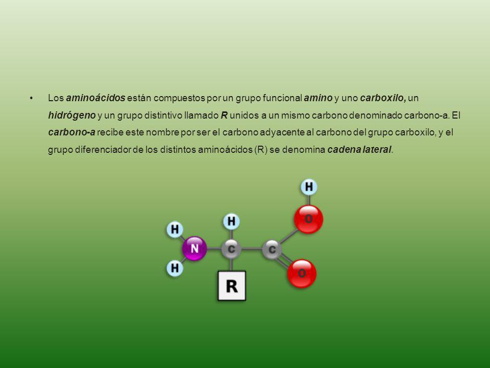 Los aminoácidos están compuestos por un grupo funcional amino y uno carboxilo, un hidrógeno y un grupo distintivo llamado R unidos a un mismo carbono denominado carbono-a.