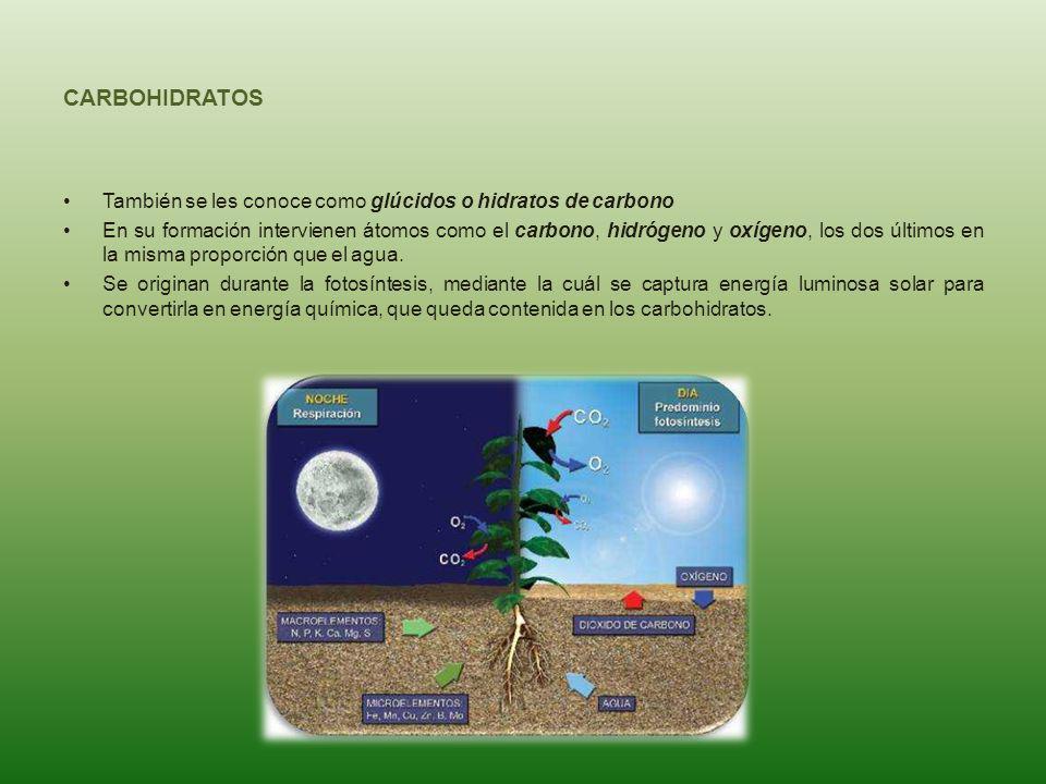 CARBOHIDRATOS También se les conoce como glúcidos o hidratos de carbono En su formación intervienen átomos como el carbono, hidrógeno y oxígeno, los d