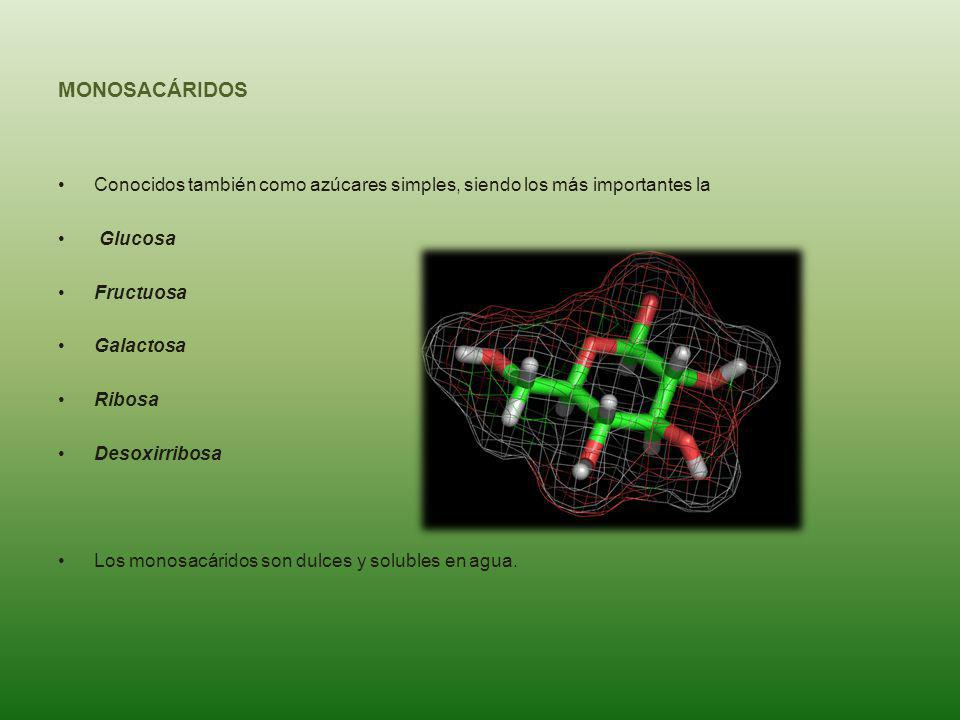 MONOSACÁRIDOS Conocidos también como azúcares simples, siendo los más importantes la Glucosa Fructuosa Galactosa Ribosa Desoxirribosa Los monosacárido