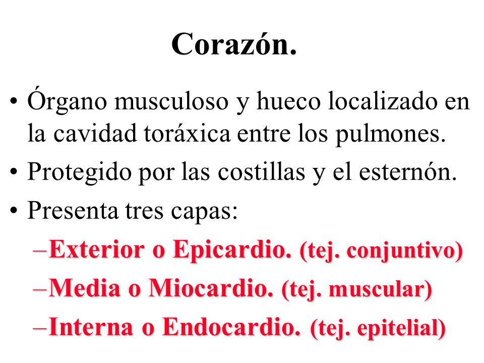 Corazón. Órgano musculoso y hueco localizado en la cavidad toráxica entre los pulmones. Protegido por las costillas y el esternón. Presenta tres capas
