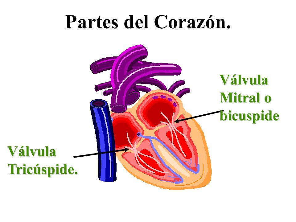 Partes del Corazón. VálvulaTricúspide. Válvula Mitral o bicuspide