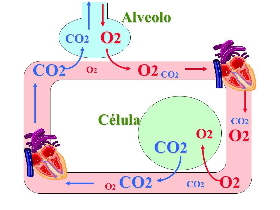 O2O2O2O2 CO 2 O2O2O2O2 O2O2O2O2 O2O2O2O2 O2O2O2O2 Alveolo Célula O2O2O2O2 O2O2O2O2