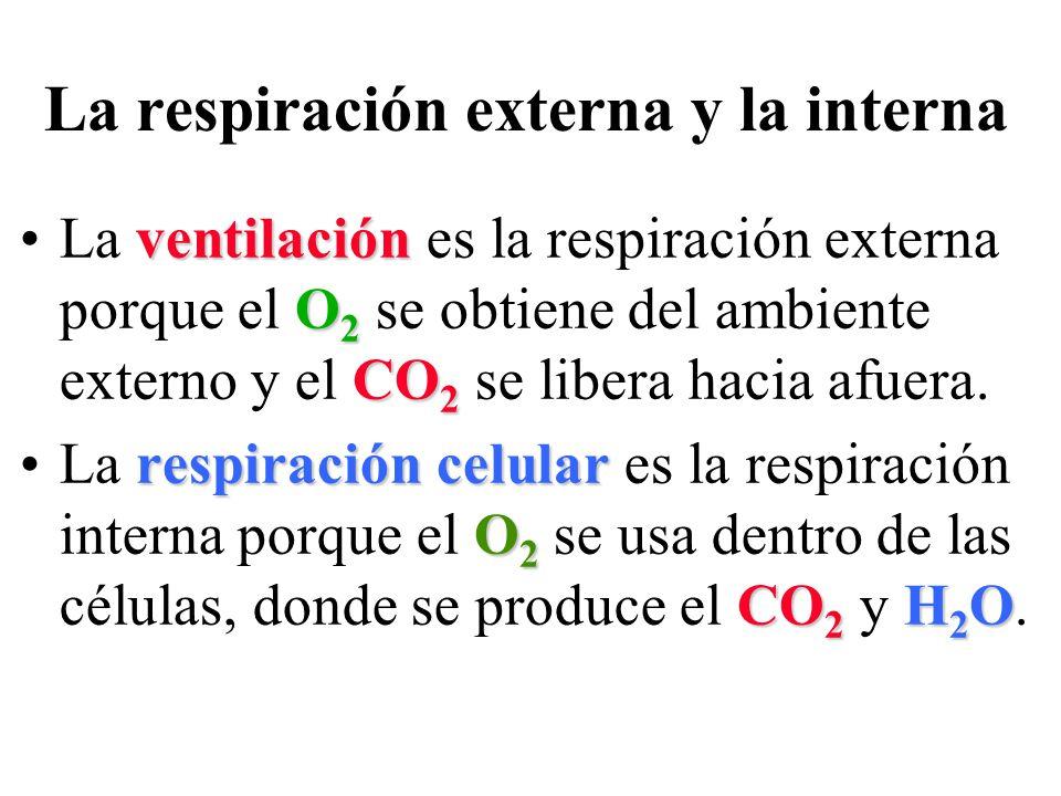 La respiración externa y la interna ventilación O 2 CO 2La ventilación es la respiración externa porque el O 2 se obtiene del ambiente externo y el CO 2 se libera hacia afuera.