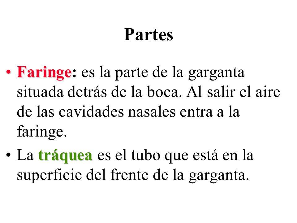 FaringeFaringe: es la parte de la garganta situada detrás de la boca. Al salir el aire de las cavidades nasales entra a la faringe. tráqueaLa tráquea
