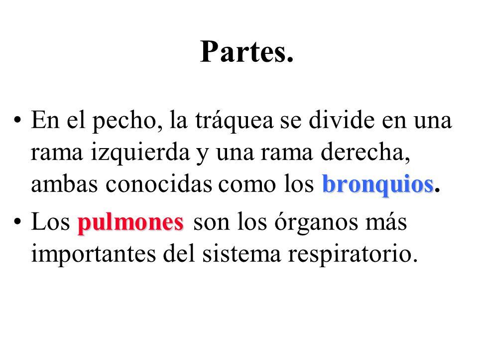 bronquiosEn el pecho, la tráquea se divide en una rama izquierda y una rama derecha, ambas conocidas como los bronquios. pulmonesLos pulmones son los