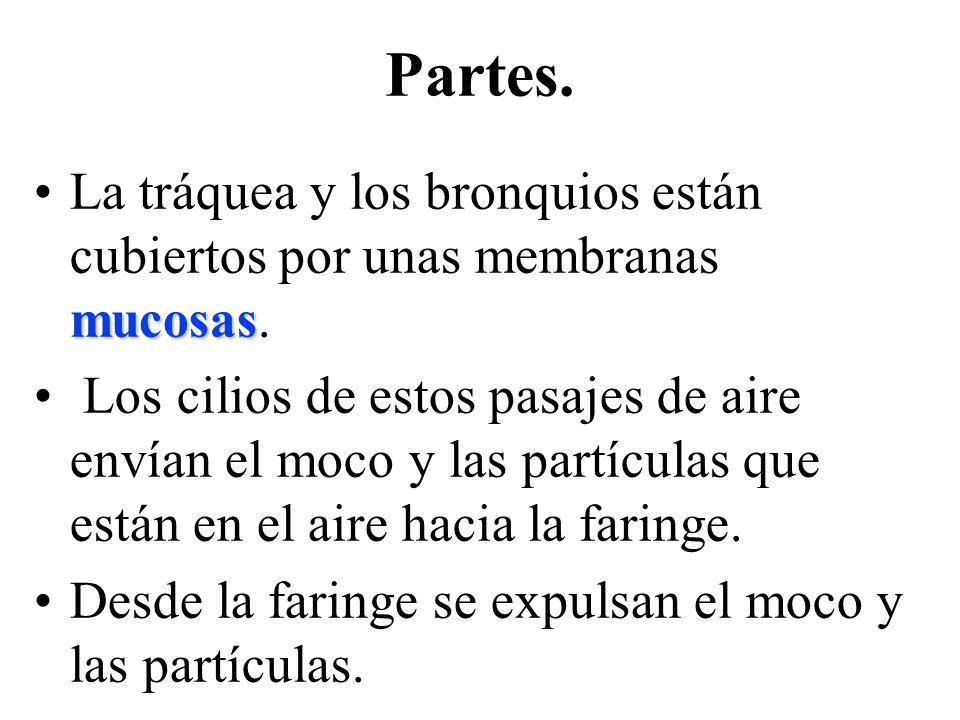 mucosasLa tráquea y los bronquios están cubiertos por unas membranas mucosas.
