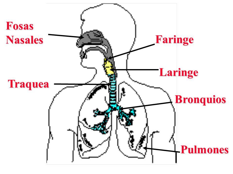 FosasNasales Faringe Traquea Bronquios Pulmones Laringe