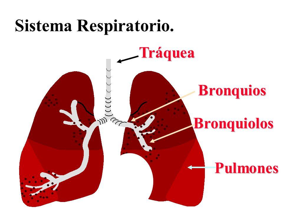 Sistema Respiratorio. Tráquea Bronquios Pulmones Bronquiolos