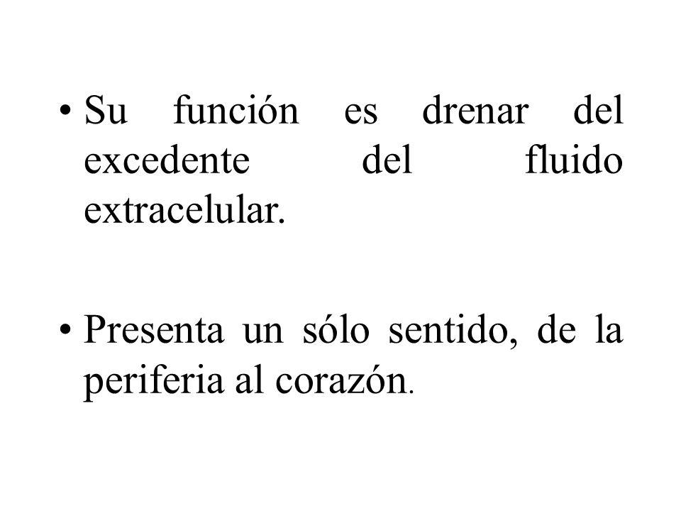 Su función es drenar del excedente del fluido extracelular. Presenta un sólo sentido, de la periferia al corazón.