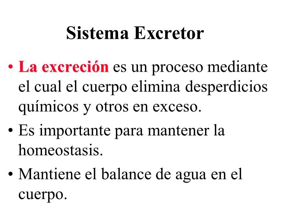 Sistema Excretor La excreciónLa excreción es un proceso mediante el cual el cuerpo elimina desperdicios químicos y otros en exceso.