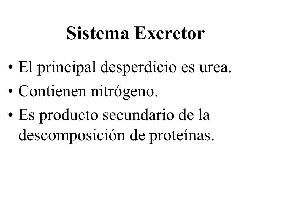 Sistema Excretor El principal desperdicio es urea. Contienen nitrógeno. Es producto secundario de la descomposición de proteínas.