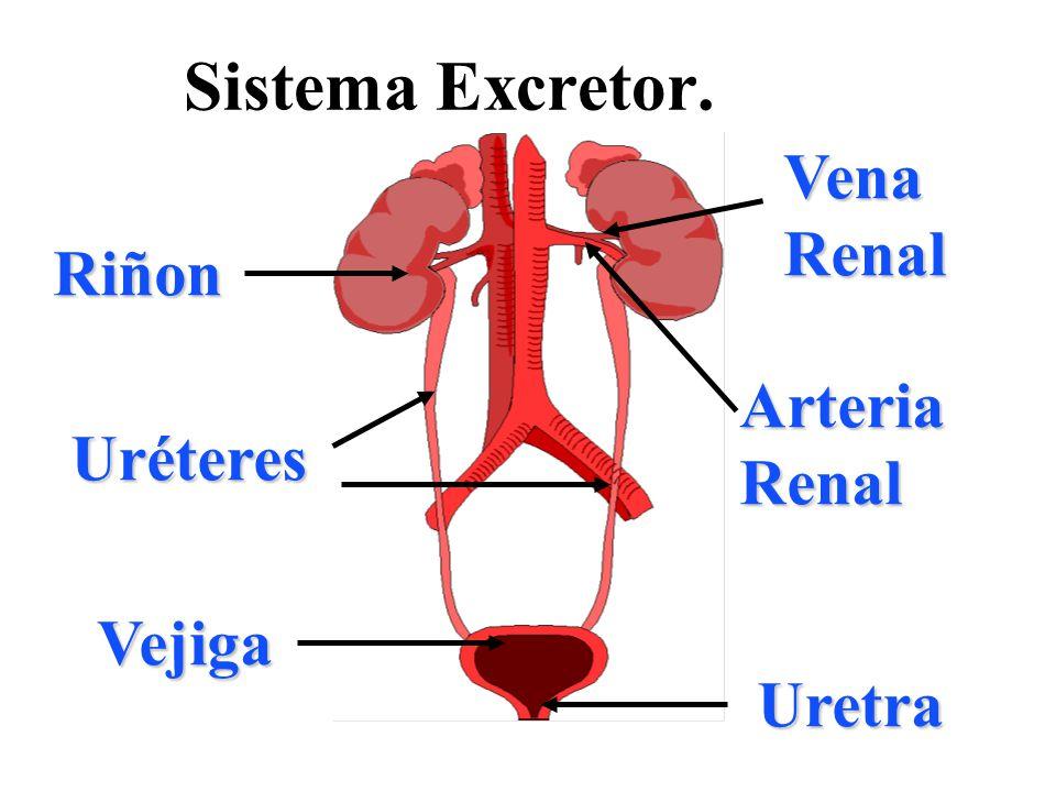 Sistema Excretor. Riñon Arteria Renal Vena Renal Uréteres Vejiga Uretra